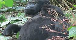 Gorilla Trek Uganda