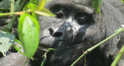 Gorilla Trekking 2 Days Rwanda