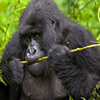 Uganda Gorilla Flying Safari