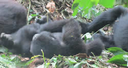 Gorilla Trek Rwanda 3 Days