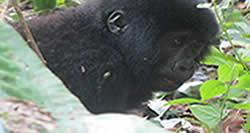 Gorilla Tours Congo