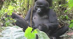 Gorilla Trek Congo