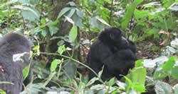 Gorilla Trek Rwanda 2 Days