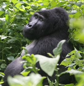 Gorilla Tracking adventure