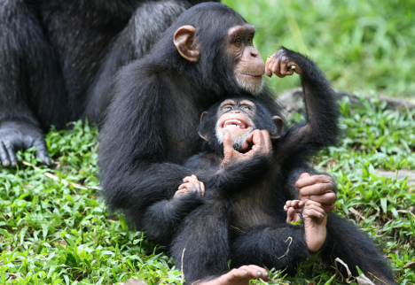 Chimpanzees Tracking in Rwanda