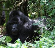 Gorilla Tracking Africa