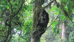Gorilla Trails in Rwanda