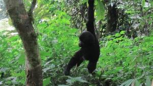 Rwanda Mountain Gorilla Tour