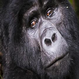 Gorilla Trek Africa Safari