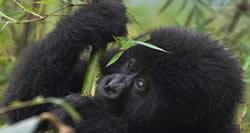 Gorilla Safaris in Rwanda 2 Days