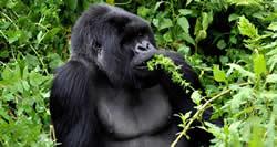 1 Day Gorilla Trekking Tour Bwindi