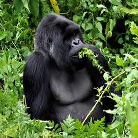 Best time to visit the Mountain gorillas