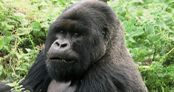 Gorilla Trek Rwanda 10 Days