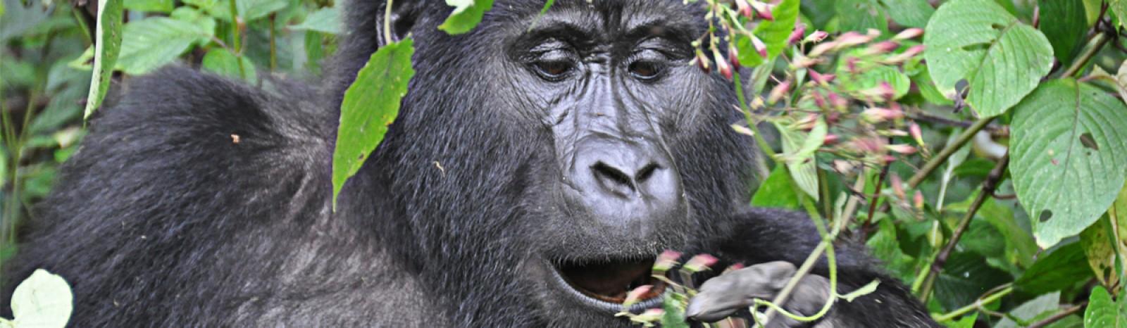 mountain-gorilla2