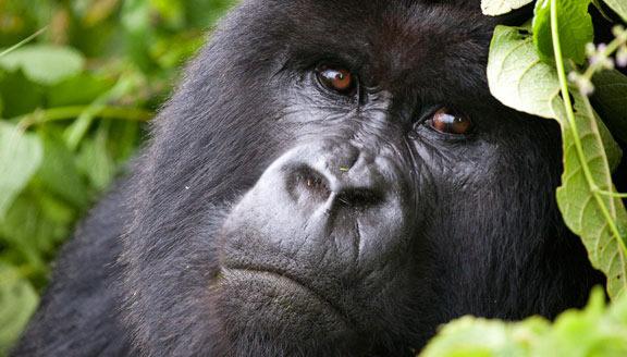 Gorilla Tour Africa