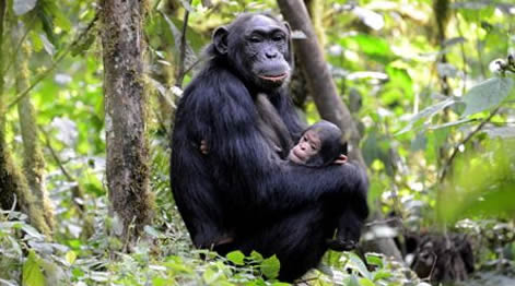 Chimpanzee Tracking Nyungwe